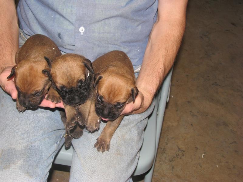 3 girl bullmastiff puppies.