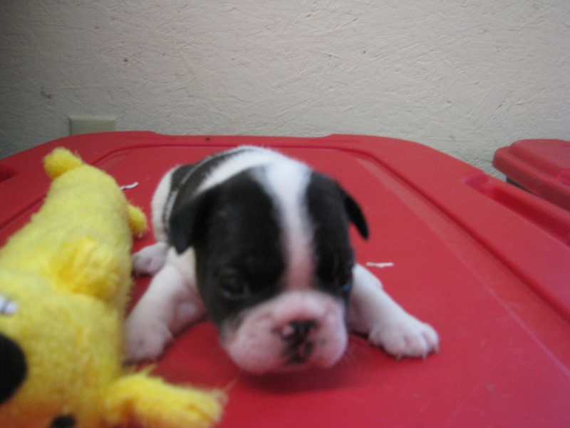 Female French Bulldog born 6/4/11