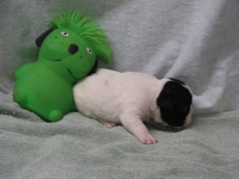 AKC female French Bulldog born 6-4-11