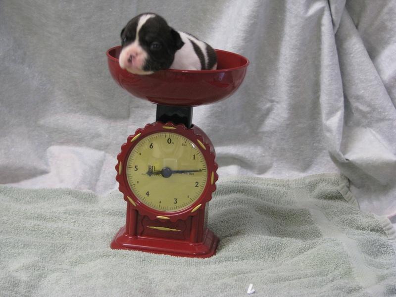 AKC male French Bulldog born 6-4-11